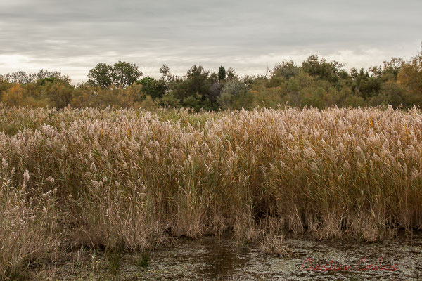 Rosellière. Réserve naturelle régionale de Scamandre, Vauvert