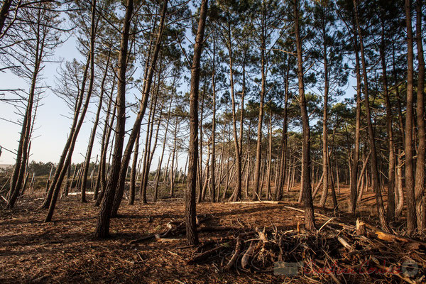 Pinus pinaster ou Pin maritime. Pinhadar, pinède, pineda. Le Vivier, Biscarrosse océan, Landes