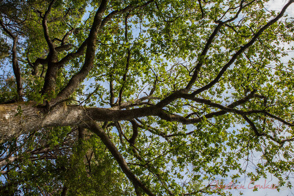 Les osmondes royales géantes sont pluriséculaires, comme certains chênes...Étang de Cousseau