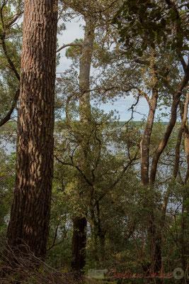 D'immenses pins surplombent l'étang de Cousseau...