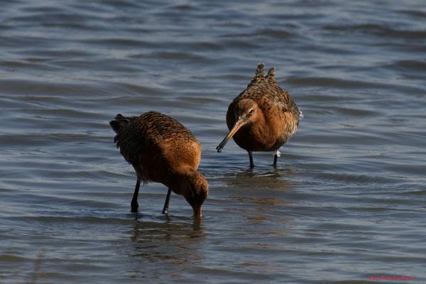 Barges à queue noire. Réserve ornithologique du Teich. Photographie Jean-Pierre Couthouis. Samedi 3 avril 2021
