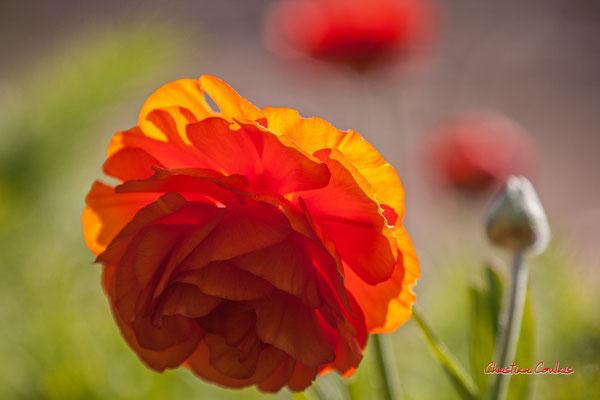 Renoncule orange, Cénac. Vendredi 3 avril 2020. Photographie : Christian Coulais