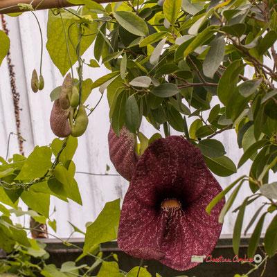 Genre : Aristolochia; Espèce : Gigantea; Famille : Aristolochiaceae; Ordre : Piperales. Serre tropicale du Bourgailh, Pessac. 27 mai 2019