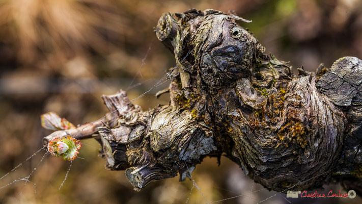 Cycle végétatif de la vigne, stade D, Vignobles de Cénac. 3 avril 2017