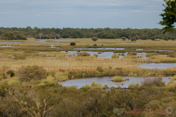 L'été, le bétail broute les jeunes pousses de bouleau, molinie, bourdaine dans le marais de Cousseau...