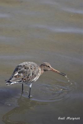 Barge à queue noire. Réserve ornithologique du Teich. Photographie Gaël Moignot. Samedi 16 mars 2019
