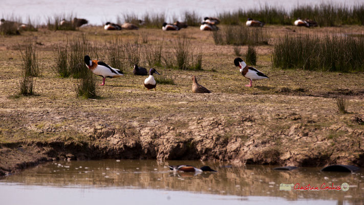 Tadornes de Belon. Réserve ornithologique du Teich. Samedi 16 mars 2019