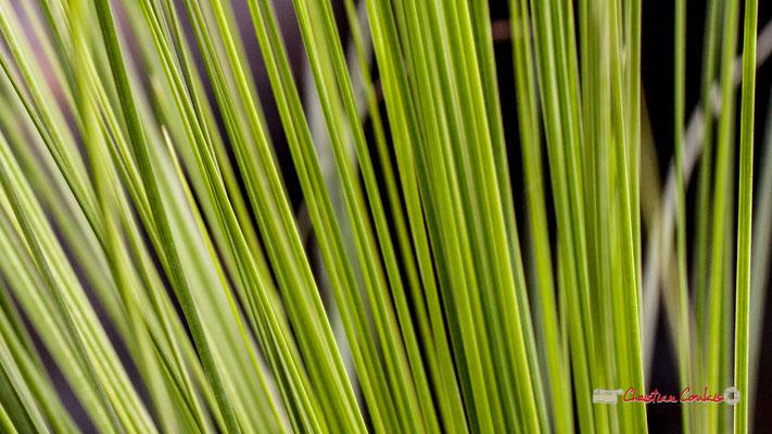 Genre : Xanthorrhoea; Espèce : Perrieri; Famille : Asphodelaceae; Ordre : Asparagales. Serre tropicale du Bourgailh, Pessac. 27 mai 2019