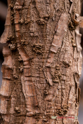 Amérique Latine. Genre : Solandra; Espèce : Grandiflora; Famille : Solanaceae; Ordre : Solanales. Serre tropicale du Bourgailh, Pessac. 27 mai 2019