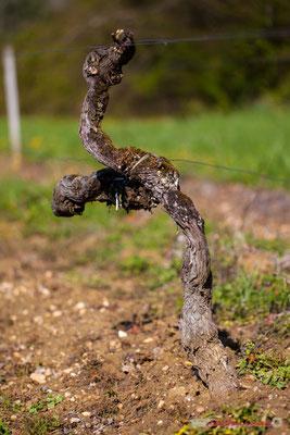 """""""L'anorexique"""". Vitis vinifera Land Art"""