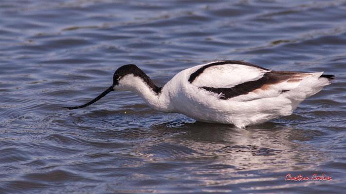 Avocette élégante. Réserve ornithologique du Teich. Samedi 3 avril 2021. Photographie © Christian Coulais