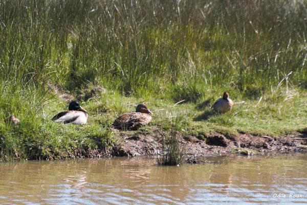 Canard colvert, mâles et femelles. Réserve ornithologique du Teich. Photographie Odile Roux. Samedi 16 mars 2019