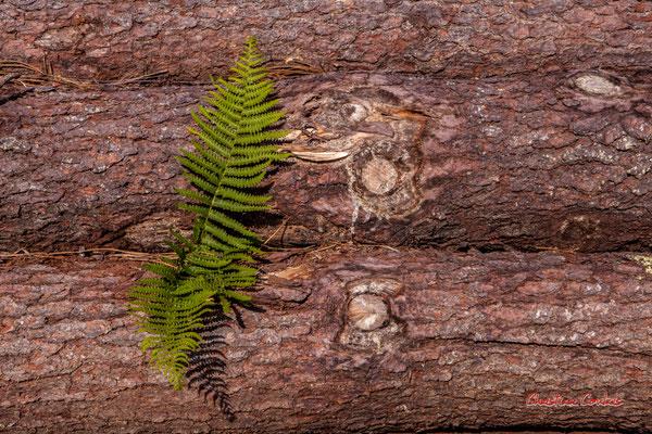 Fourgère sur grumes. Forêt de Migelan, espace naturel sensible, Martillac / Saucats / la Brède. Vendredi 22 mai 2020. Photographie : Christian Coulais