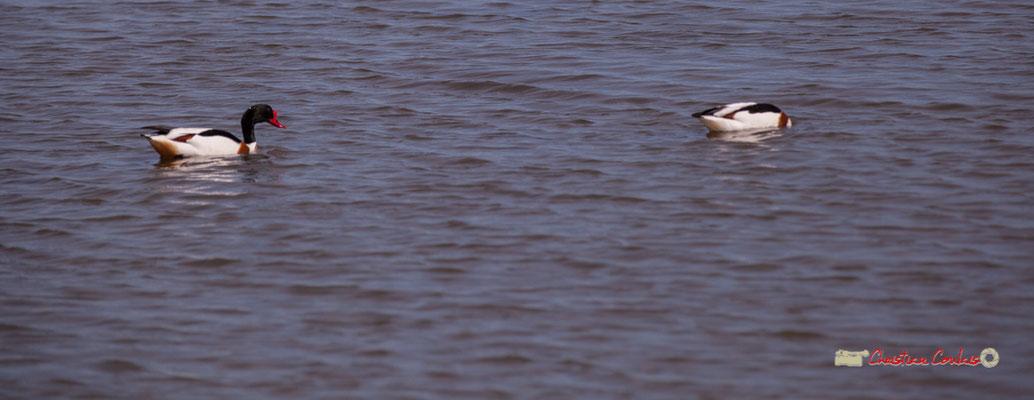 Tadornes de Belon. Réserve ornithologique du Teich. Samedi 16 mars 2019. Photographie © Christian Coulais