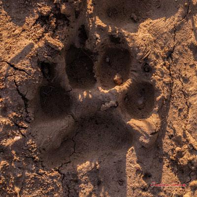 Empreinte de chien, 4 pelotes digitales avec griffes, plus de 4 cm de long, empreinte arrondie ; Haut-Brignon, Cénac. Samedi 16 mai 2020. Photographie : Christian Coulais