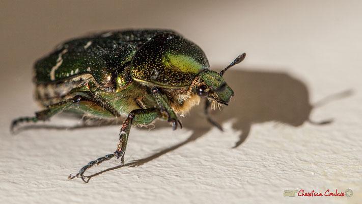 2/4 Cétoine dorée en mouvement, ou « Hanneton des roses » est un insecte coléoptère de la famille des Cetoniidae. Photographie Christian Coulais