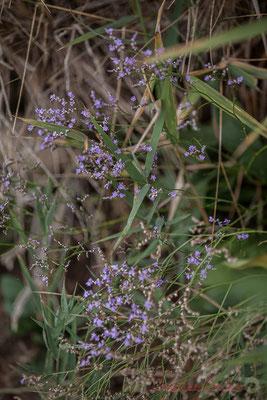 Végétation florale. Réserve naturelle régionale de Scamandre, Vauvert