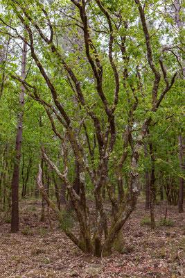 Forêt de Lège-Cap Ferret, Gironde, Aquitaine