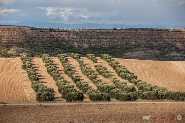 Champs d'oliviers / Campos de olivos, Parque natural de las Bardenas Reales, Navarra