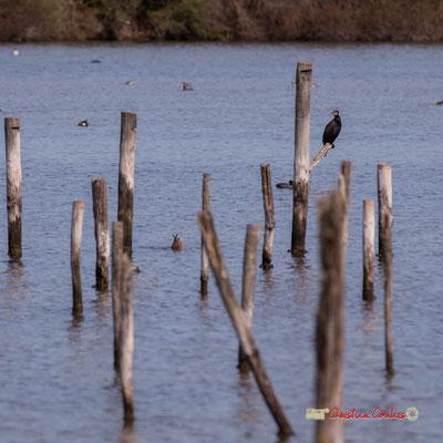 Grand cormoran. Réserve ornithologique du Teich. Samedi 16 mars 2019. Photographie © Christian Coulais