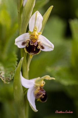 Hypochromie partielle d'Ophrys abeille, Ophrys apifera (mauve > blanche). Le Garde, Cenac. Samedi 16 mai 2020. Photographie : Christian Coulais