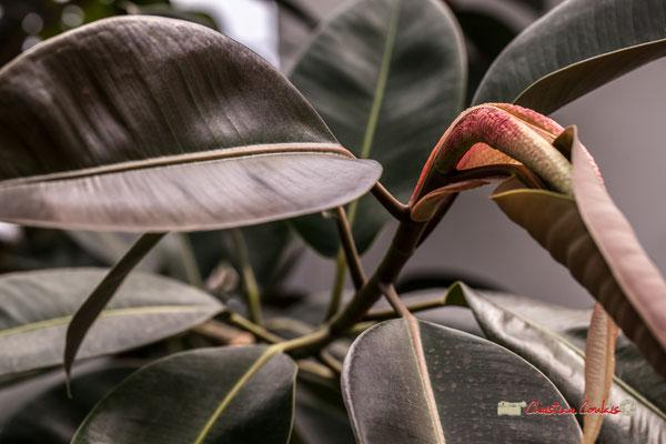 Asie. Genre : Ficus; Espèce : Elastica; Famille : Moraceae; Ordre : Urticales. Serre tropicale du Bourgailh, Pessac. 27 mai 2019