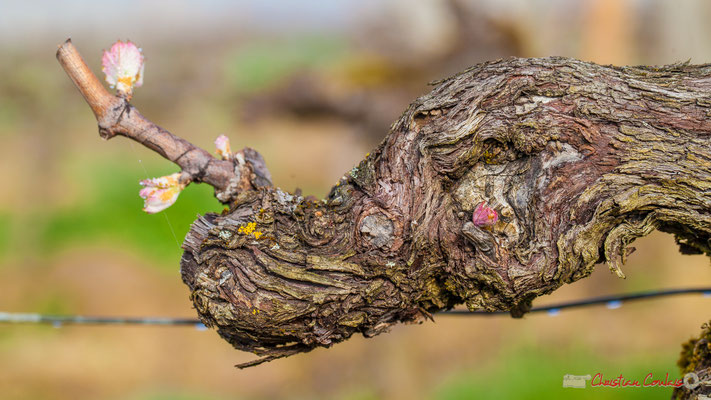 """Larme à l'œil de la licorne"". Vitis vinifera Land Art"