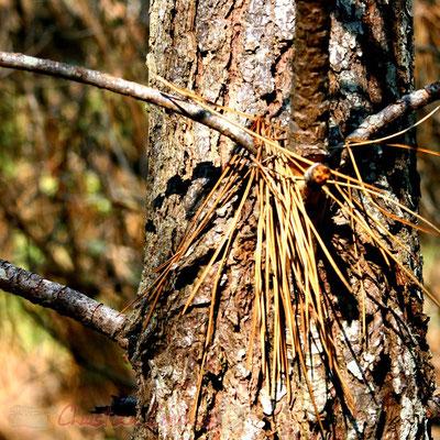 Jeu d'aiguilles de pin et tronc. Bois du Petit-Nice de Pyla-sur-Mer, route de Biscarrosse, forêt domaniale de La Teste-de-Buch