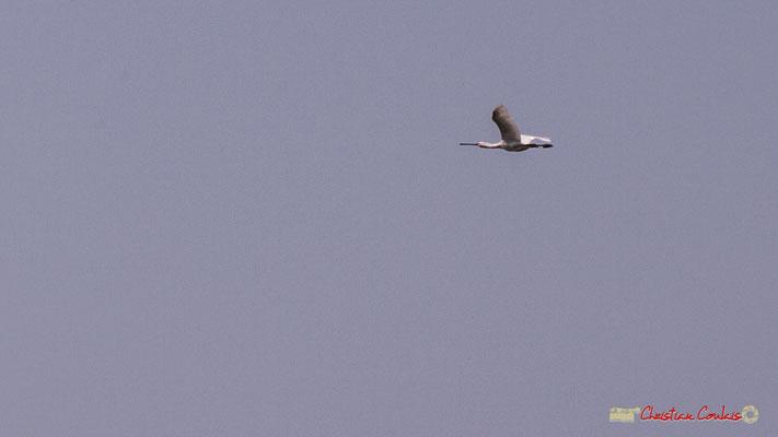 """Spatule blanche en vol, au dessus de """"leur"""" forêt refuge. Venez écouter leurs chants originaux. Visite de l'Île Nouvelle, Gironde. 06/05/2018"""