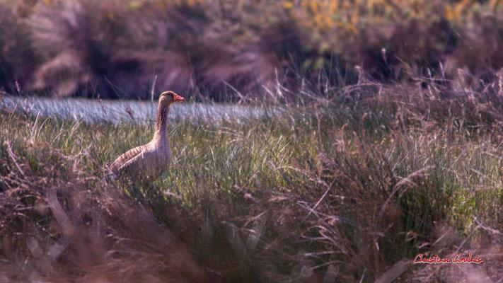 Oie cendrée, réserve ornithologique du Teich. Samedi 3 avril 2021. Photographie © Christian Coulais