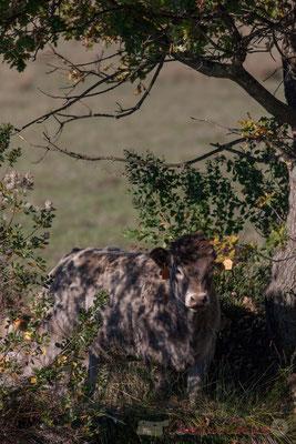 Vache à l'ombre. Domaine de Graveyron, Audenge, espace naturel sensible de Gironde