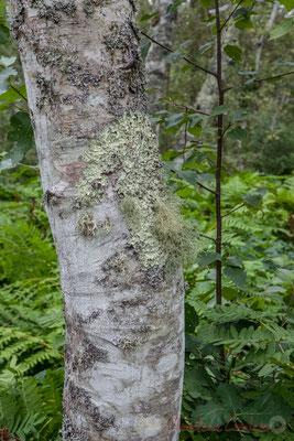 Les lychens ne sont jamais synonymes de maladie pour l'arbre. Il existe une demi-douzaine de variétés différentes aux teintes très variées.