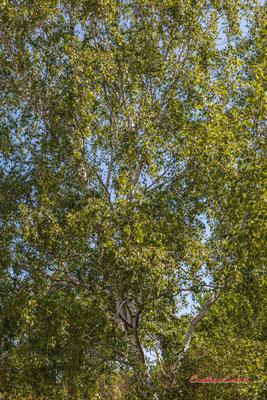 Bouleau verruqueux ou bouleau blanc (Betula pendula, syn. B. verrucosa). Forêt de Migelan, espace naturel sensible, Martillac / Saucats / la Brède. Vendredi 22 mai 2020. Photographie : Christian Coulais