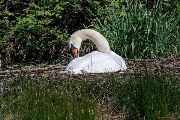 Cygne muet ou tuberculé et son nid. Réserve ornithologique du Teich. Photographie Jean-Pierre Couthouis. Samedi 3 avril 2021