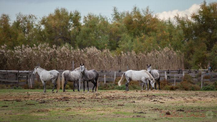 Domaine de la Fromagère, élevage du cheval Camargue, race de petit cheval de selle rustique à la robe grise. Réserve naturelle régionale de Scamandre, Vauvert