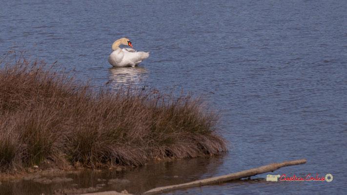 Cygne blanc se lissant les plumes. Réserve ornithologique du Teich. Samedi 16 mars 2019