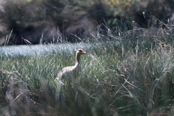 Oie cendrée. Réserve ornithologique du Teich. Photographie Jean-Pierre Couthouis. Samedi 3 avril 2021