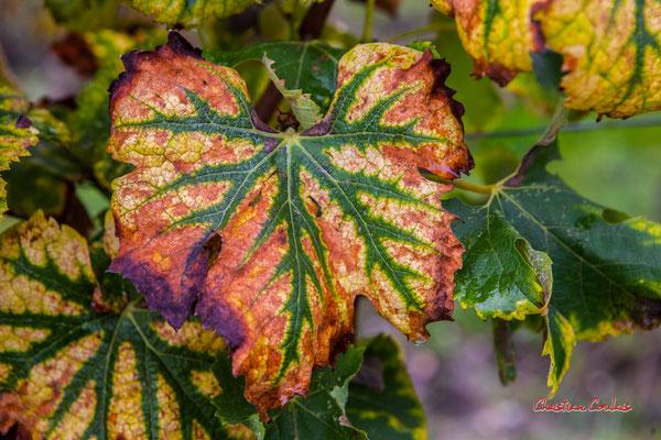 Feuille de vigne aux couleurs d'automne; Vignoble du Sauternais, Château d'Yquem, Sauternes. Samedi 10 octobre 2020. Photographie © Christian Coulais