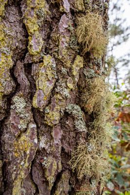 Ecorce de pin maritime. Forêt de Lège-Cap Ferret, Gironde, Aquitaine