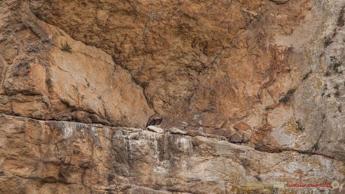 Nid de vautour fauve, gorges de Lumbier, Navarre / Leonado nido de buitre, Foz de Lumbier, Navarra