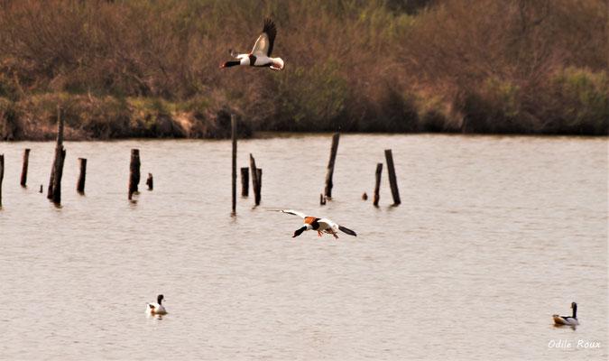 Vol de Tadornes de Belon. Réserve ornithologique du Teich. Photographie Odile Roux. Samedi 16 mars 2019