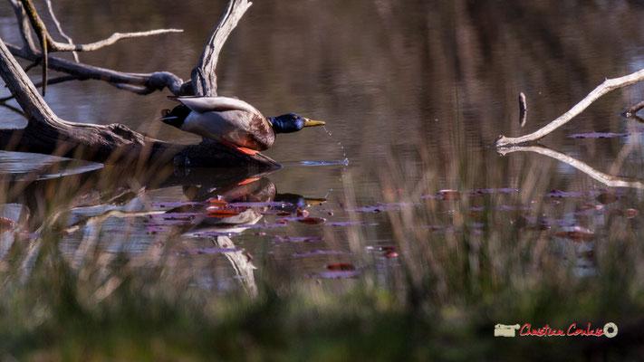 Canard colvert, réserve ornithologique du Teich. Samedi 16 mars 2019
