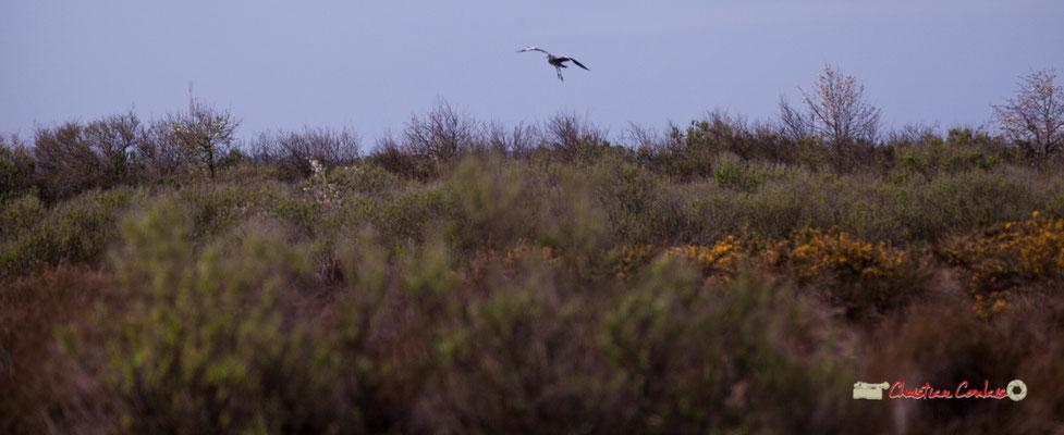 Héron cendré qui va se poser. Réserve ornithologique du Teich. Samedi 16 mars 2019. Photographie © Christian Coulais
