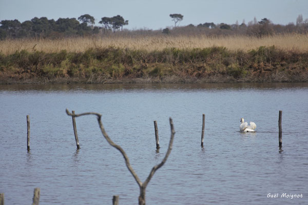 Cygne blanc. Réserve ornithologique du Teich. Photographie Gaël Moignot. Samedi 16 mars 2019