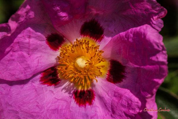 Fleur de Ciste, Cistus Purpureus, Cénac. Dimanche 26 avril 2020. Photographie : Christian Coulais