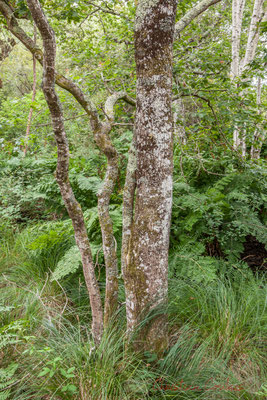 Chêne pédonculé. Hourtin, Lagune de Contaut, Espace Naturel Sensible de Gironde