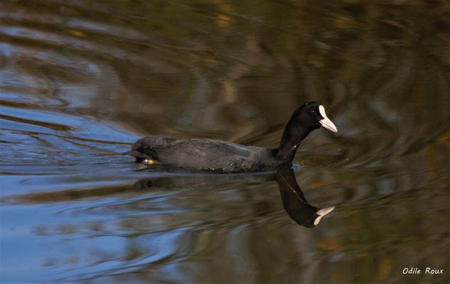 Foulque macroule. Réserve ornithologique du Teich. Photographie Odile Roux. Samedi 16 mars 2019