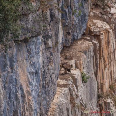 9/9 détail Vautour fauve en vol d'approche de son nid / Buitre beonado que se acerca al nido, Foz de Arbaiun, Navarra