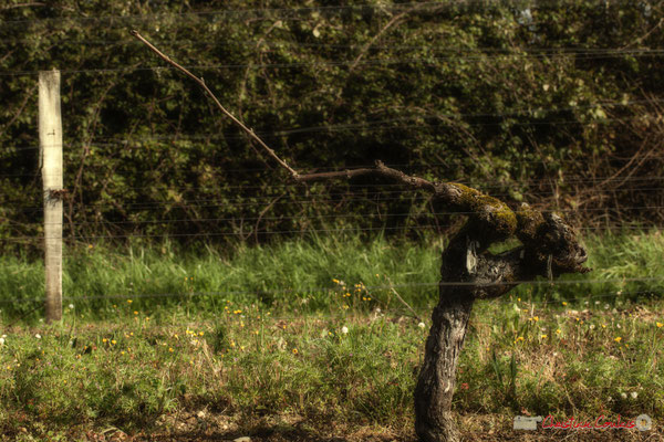 """Le dragon volant"". Vitis vinifera Land Art"