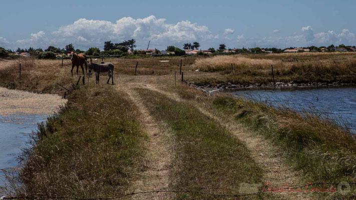 Cheval et âne, marais salants de l'Île de Noirmoutier entre l'Epine et Noimoutier en l'Île, Vendée, Pays de la Loire